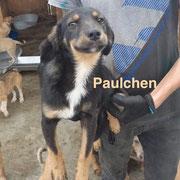 1 Tier in Rumänien durch Namenspatenschaft Paulchen, Pro Dog Romania eV