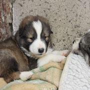 3 Hunde in Sibiu/Rumänien über Freie Tierhilfe, Kleve