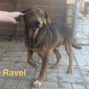 1 Tier in Rumänien durch Namenspatenschaft Ravel, Pro Dog Romania eV