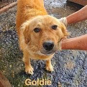 1 Tier in Rumänien durch Namenspatenschaft Goldie, Pro Dog Romania eV
