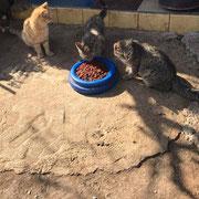 3 Katzen in Duaci über Tierfreunde Antalya