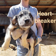 1 Tier in Rumänien durch Namenspatenschaft Heartbreaker, Pro Dog Romania eV