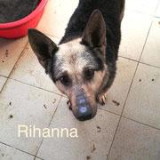 1 Tier in Rumänien durch Namenspatenschaft Rihanna, Pro Dog Romania eV