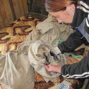 1 Katze, 2 Kater bei Svetlana in Sibirien, Tierhilfe Bluemoon eV