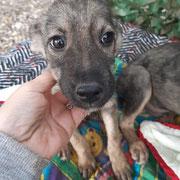 1 Tier in Rumänien durch Namenspatenschaft Amundsen, Pro Dog Romania eV