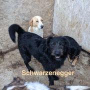 1 Tier in Rumänien durch Namenspatenschaft Schwarzenegger, Pro Dog Romania eV