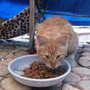 Kater Paco, Alanya/Türkei, Hilfe für Samtpfoten & Co in Not eV
