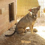 1 Tier in Rumänien durch Namenspatenschaft Wippi, Pro Dog Romania eV