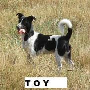 Hündin Toy aus Polen, Not-Hund, Beselich