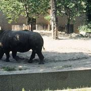Dieses Breitmaulnashorn im Zoo Berlin (D) läuft, wie man an der Spur erkennt, während lämgerer Zeit nur im Kreise herum, obwohl es nicht speziell eingeengt ist. Vermutlich sind, nach Ursachenabklärung, Veränderungen der Haltungsbedingungen erforderlich.