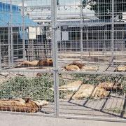 Löwen haltung (Zirkus Knie). An die Käfigwagen (Schutz vor Regen und zu starker Sonneneinstrahlung) wurde ein Aussengehege angebaut, das die Tiere rege nutzten.