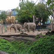 """Asiatische Elefanten in einem Mini-Gehege im Zoo Budapest (H). Die Tiere stehen praktisch nur an Ort. Das linke Tier zeigt stereotypes Verhalten (""""Weben""""). Offensichtlich sind tiefgreifende Veränderungen der Haltungsbedingungen erforderlich."""
