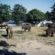 Asiatische Elefanten in ihren mobilen Gehege (Zirkus Knie)