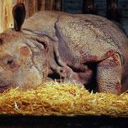 Panzernashorn mit blutenden Wunden an exponierten Hautstellen (Zoo Basel, CH). Das Tier schein diese Stellen wundgescheuert zu haben. Es handelt sich also um verhaltensbedingte Schäden, deren Ursache zu beseitigen ist.