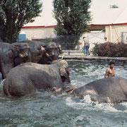 Asiatische Elefanten bei ihrem Bad. Wenn kein Wasserbassin zur Verfügung stand, wurde den Tieren, wenn immer möglich, Gelegenheit gebote,n in einem See oder in einem Fluss zu baden (Zirkus Knie)