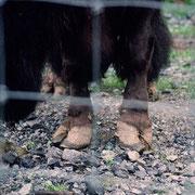 Yak mit ausgewachsenen Hufen im Zoo Servion CH. Hier ist eine Hufpflege dringend erforderlich.