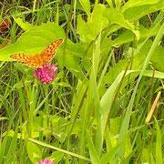 ノアザミと蝶 ほのぼのとしたのどかな夏の風景です ~避暑地志賀高原・ホテルジャパン志賀の裏の土手にて~