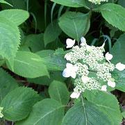 エゾアジサイも咲いています ~避暑地志賀高原・ホテルジャパン志賀の裏の土手にて~