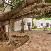 Innenhof (Courtyard) mit gewöhnlichem wildem Feigenbaum (Ficus thonningii)