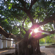 Binnehof met Gewone Wurgvy (Common Wild Fig, Ficus thonningi)