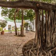 Patio with Common Wild Fig Tree (Ficus thonningii - Gewone wurgvy)