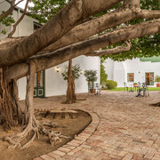 Courtyard with Common Wild Fig Tree (Ficus thonningii - Gewone wurgvy)