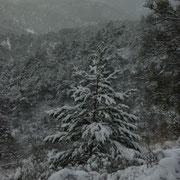 Un pin sylvestre habillé pour l'hiver