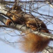 Un écureuil  dans un orme juste avant la neige