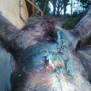 Herida suturada