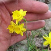 hübsche wilde sehr kleine Aprilglocken