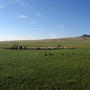Herde (550 Schafe)