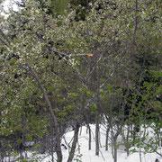 blühende Kirschbäume im Schnee