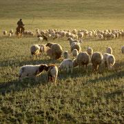 Schafe treiben