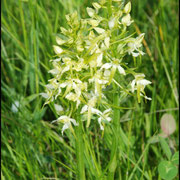 Platanthera bifolia Bugarach (11) Le : 19-05-2009