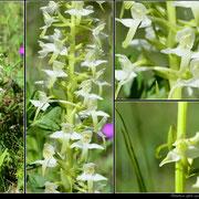 Platanthera bifolia Lapanouse de Cernon (12) le 30 Mai 2019