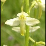 Platanthera bifolia Barres des Cévennes (48) Le : 04-06-2005