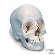 頭蓋骨模型A290はナチュラルカラー