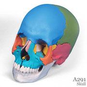 頭蓋骨模型A291はマルチカラー