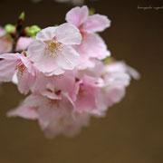 桜 奇跡の星の植物館