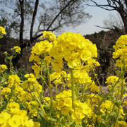 大見山  菜の花