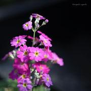 サクレソウ 奇跡の星の植物館