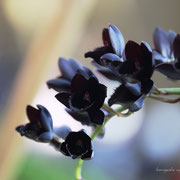 黒いラン 奇跡の星の植物館