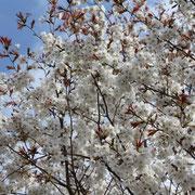 ダントー福良 早咲桜