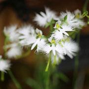 サギソウ 奇跡の星の植物館