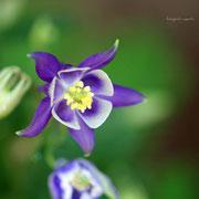 ヤマオダマキ 奇跡の星の植物館