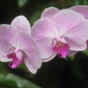 イングランドの丘 大温室内の花 2012年6月8日撮影