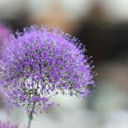 ユウギリソウ 奇跡の星の植物館