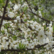 福良・向谷の変り桜