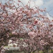 洲本市宇原 八重桜
