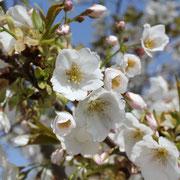 福良浄化センターの早咲き桜